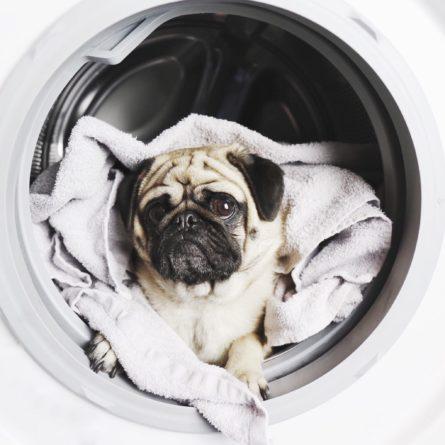 wash-the-pug_t20_09wm0B-scaled-445x445